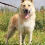 Ирбис собака из приюта на пристройство приют для бездомных животных Зов Предков zovpredkov.net фото 6