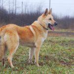 Ирбис собака из приюта на пристройство приют для бездомных животных Зов Предков zovpredkov.net фото 12