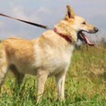 Ирбис собака из приюта на пристройство приют для бездомных животных Зов Предков zovpredkov.net фото 1