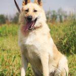 Ирбис собака из приюта на пристройство приют для бездомных животных Зов Предков zovpredkov.net фото 4