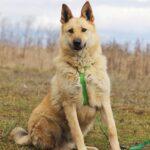 Ирбис собака из приюта на пристройство приют для бездомных животных Зов Предков zovpredkov.net фото 19