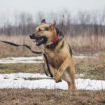 Титан собака из приюта Зов Предков zovpredkov.net фото 10