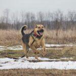 Титан собака из приюта Зов Предков zovpredkov.net фото 9