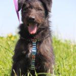 Цезарь собака из приюта на пристройство приют для бездомных животных Зов Предков zovpredkov.net фото 6