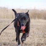 Пандора собака из приюта на пристройство, частный приют Зов Предков zovpredkov.net фото 3