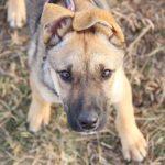 Айрис собака из приюта на пристройство приют для бездомных животных Зов Предков zovpredkov.net фото 16