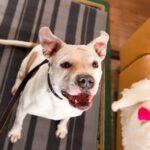 Джульетта собака из приюта на пристройство, частный приют Зов Предков zovpredkov.net фото 11