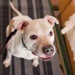 Джульетта собака из приюта на пристройство, частный приют Зов Предков zovpredkov.net фото 12