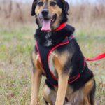 Бостон собака из приюта на пристройство приют для бездомных животных Зов Предков zovpredkov.net фото 2