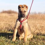 Айрис собака из приюта на пристройство приют для бездомных животных Зов Предков zovpredkov.net фото 8