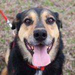 Бостон собака из приюта на пристройство приют для бездомных животных Зов Предков zovpredkov.net фото 6
