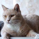 Абрикос кот из приюта для бездомных животных Зов Предков на пристройство zovpredkov.net фото 1