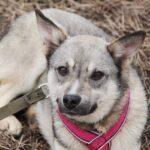 Грейси собака из приюта на пристройство, частный приют для бездомных животных Зов Предков zovpredkov.net фото 8