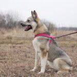 Грейси собака из приюта на пристройство, частный приют для бездомных животных Зов Предков zovpredkov.net фото 2
