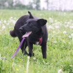 Брэнди собака из приюта на пристройство, частный приют для бездомных животных Зов Предков zovpredkov.net фото 1