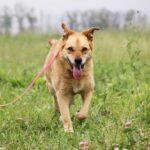 Дюшес собака из приюта на пристройство, частный приют для бездомных животных Зов Предков zovpredkov.net фото 3
