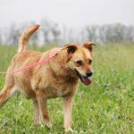Дюшес собака из приюта на пристройство, частный приют для бездомных животных Зов Предков zovpredkov.net фото 2