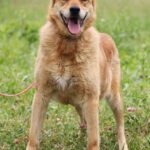 Дюшес собака из приюта на пристройство, частный приют для бездомных животных Зов Предков zovpredkov.net фото 5