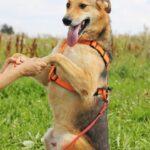 Чейз собака из приюта на пристройство, частный приют для бездомных животных Зов Предков zovpredkov.net фото 3