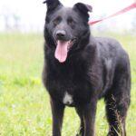 Шериф собака из приюта на пристройство, частный приют для бездомных животных Зов Предков zovpredkov.net фото 3