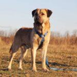 Байкал собака из приюта на пристройство, частный приют для бездомных животных Зов Предков zovpredkov.net фото 7