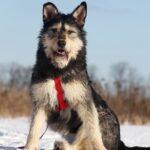 Ария союака из при.та на пристройство частный приют для собак Зов Предков zovpredkov.net фото 7