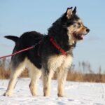 Ария союака из при.та на пристройство частный приют для собак Зов Предков zovpredkov.net фото 4