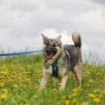 Мика собака из приюта на пристройство приют Зов Предков фото 5